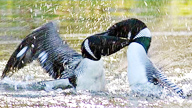 two adult loons fighting