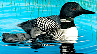 adult and baby loon swimming