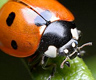 Ladybug closeup