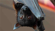 close up of bat face as it hangs upside down