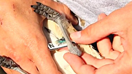 two hands holding s small bird as it is banded