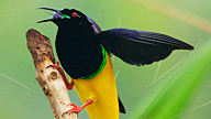 Twelve-wired Bird-of-Paradise on a tree branch