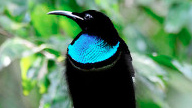 Magnificent Riflebird in profile