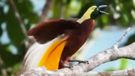 Lesser Bird-of-Paradise on a tree branch