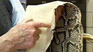 Hand touching inside of a large snake skin