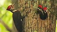 pileated woodpeckers on a tree