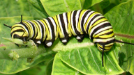 Close-up of monarch caterpillar
