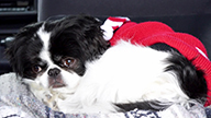 Rare canine open-heart surgery succeeds at Cornell
