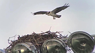 osprey approaching a nest