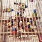 Wildlife-Trafficking Bust Highlights Problems in Caged Bird Trade