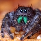 NBB students collaborate on jumping spider research