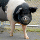 Hampshire pig Nemo is a pioneer