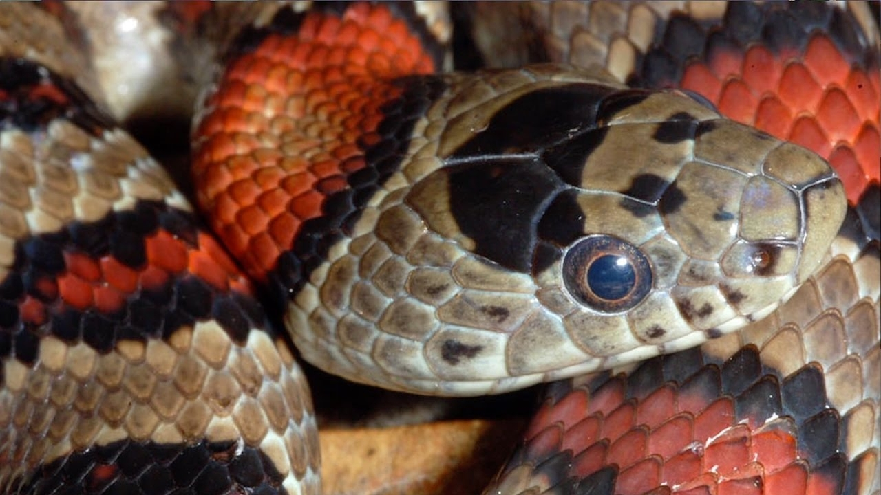 Did you know? Snakes have toes! - CornellCast
