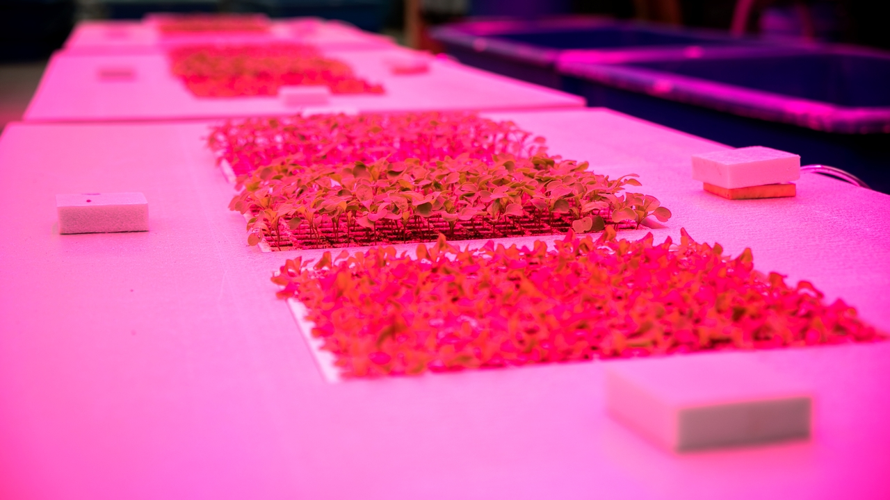 LED lights shine on beds of lettuce at Cornell's Kenneth Post Laboratory greenhouses