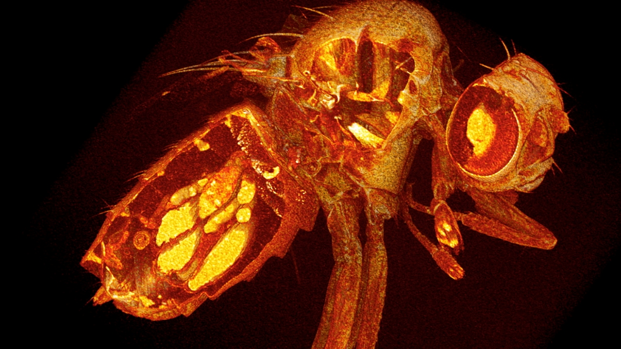 Micro CT scan of a fruit fly
