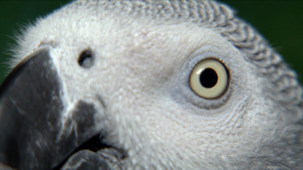 African Grey Parrot: Species in Decline - CornellCast