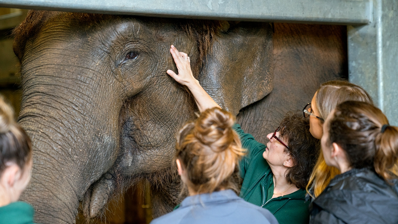 Cornell veterinarians and students examine one of the zoo's Asian elephants, Romani.