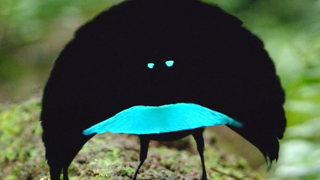 Rare Birds Of Paradise A new species? The Vog...