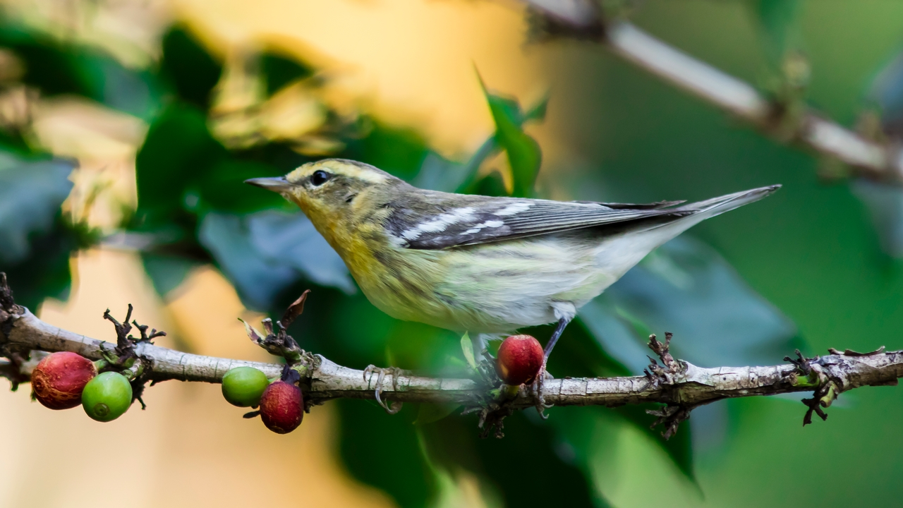 A Blackburnian warbler in Colombia