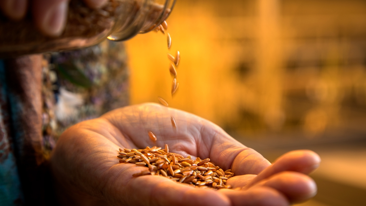 Nutritious Red Rice Developed For The U S