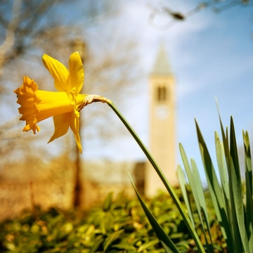 Yellow flowers and grass in front of McGraw Tower