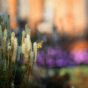 夏天,白宫花园里的一只蝴蝶在花上