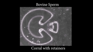 bovine sperm corral with retainers