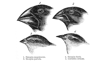 scientific illustration of Darwin's finches, numbers 1 through 4