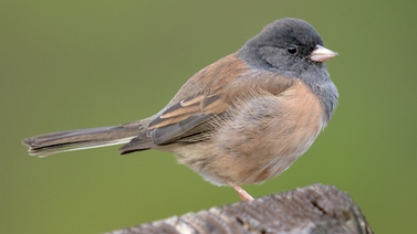 dark-eyed junco photographed by Becky Matsubara