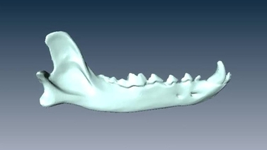 computer rendering of a canid mandible