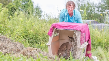NY State licensed wildlife rehabilitator Cindy Page encourages the bobcat out of a carrier