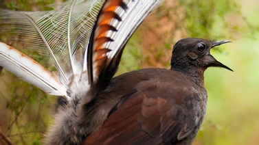 male lyrebird