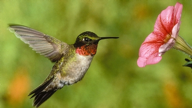 hummingbird hovering at a flower
