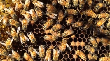 bees in a hive on honeycomb