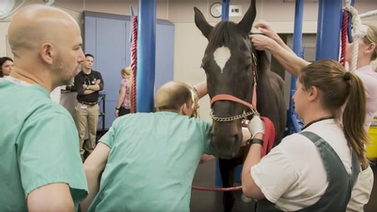 Veterinary College staff prepares horse for TVEC procedure