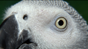 close up of African Grey parrot head