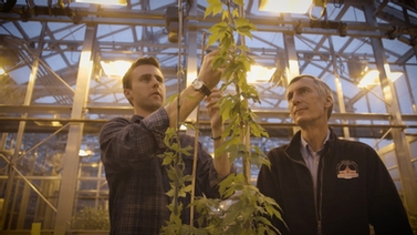 Cornell researchers examine hops in greenhouse