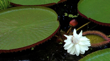 victoria lily with white flower