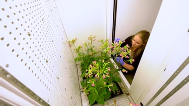 Ph.D. candidate Jen Schmidt tends to tobacco plants