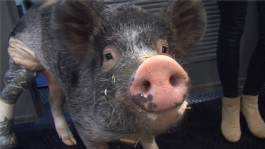 Rescued pig gets second chance at life on four legs