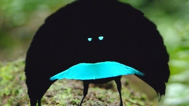 Vogelkop Superb Bird-of-Paradise