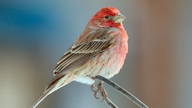 House Finch by Maria Corcacas