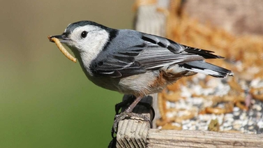 White-breasted Nuthatch eats a dried mealworm at a feeder