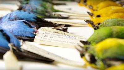 Cornell university bird specimens fandeluxe Gallery