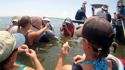 researchers hold a dolphin while others collect samples to assess its health
