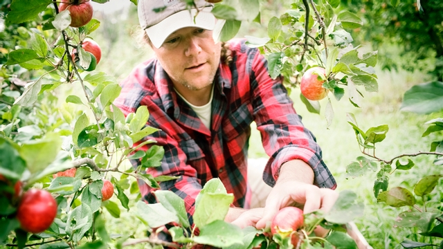 apple grower inspects the fruit