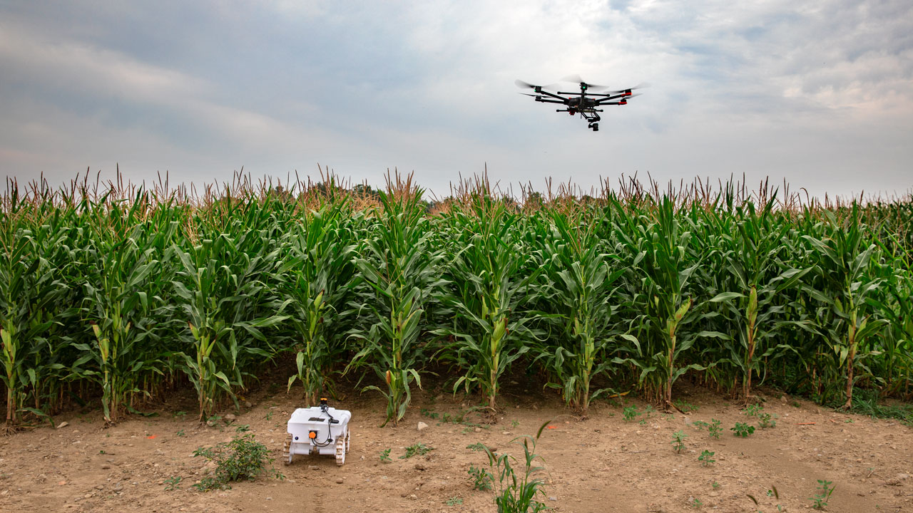 A drone flies over a corn field.